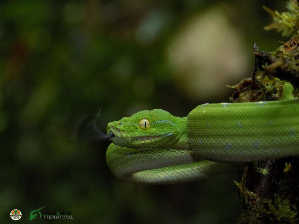 Sanca-Hijau-(Papua-Barat)